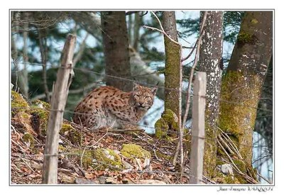Faune Le Lynx - Photo Jean-François Varriot - Copyrigth