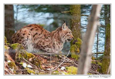 Faune Le Lynx - Photo Jean-François Varriot - Copyrigth