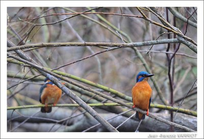 Oiseaux - Photo Jean-François Varriot - Copyrigth