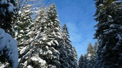 Les cimes des sapins en hiver - Photo Claude Schneider - Copyrigth
